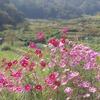奈良県)里山ハイキング。近鉄生駒線一分→暗峠手前→南生駒。コスモス。