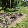 菜園だより ⑤ 収穫の予感