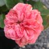 【庭】バラ新苗、その後②