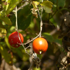 リースに飾る木の実探しの場所と時期 赤い実・白い実・黒い実・そのほか