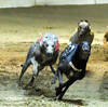 マカオのドッグレース廃止に伴って残されたグレイハウンド犬650頭の引き取り手を当局が探すことに!無事全頭引き取られると良いけど。
