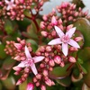 カネノナルキの花