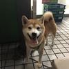 新宿で可愛い柴犬に遭遇♪♪