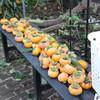 秋の実り 柿の収穫