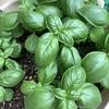 バジルの栄養価がすごい!自宅栽培おすすめハーブ。