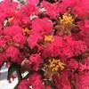 サルスベリの花から…