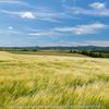 網走市の大麦畑