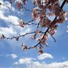 青空の下に桜踊る