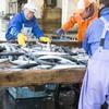 2017年1月26日 小浜漁港 お魚情報