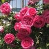無農薬で育てられるバラについて想定で選んでみました 続編