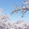 愛知県岩倉市を流れる五条川の桜並木