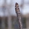 コシアブラの冬芽の表情