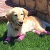 【4本足を失ったチチ】犬肉工場から助けられ、懸命に生きる姿が素晴らしい!!