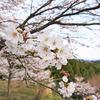 桜を振り返って…