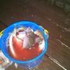 深田渡船 小浜の筏で中アジ爆釣 その1 タナが大事