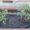 植えてから 2週間後のトマト に実がなりました