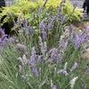 ラベンダー 花の収穫