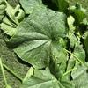 きゅうり うどん粉病の対策 プランター栽培 トマト きゅうり なす