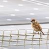 🐦野鳥の回【70】スズメの幼鳥が死んでいくのを見た。