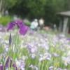 梅雨のピクニック:お花畑の撮り方に悩みながらの撮影