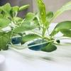 【グリーンファーム】室内でベビーリーフに朝露ができた【水耕栽培】