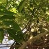ハトのヒナは成長が早い。ヒナや卵がある巣を撤去するのは違法。子宝に恵まれるかもしれないトネリコの木、諦めます。