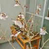 ソメイヨシノも、富士桜も開花。本格的に春なのだった