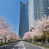 「みなとみらい21 さくらフェスタ2020」103本の美しいソメイヨシノの桜並木!
