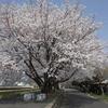 つくばりんりんロードで桜お花見三昧 (^^♪