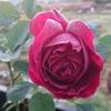今年のバラは長いのでしょうか?