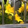 黄色い花10(ユリ)