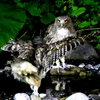 2羽のシマフクロウ