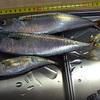 ついに25センチ級のサバが釣れた。館山は水産物研究には好立地だと思う次第。