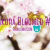 神社の桜が満開だった@北海道十勝新得山神社