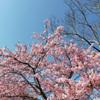 河津桜といちご大福