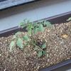 ミニトマトのベランダ栽培に挑戦