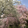 桜満開!~哲学の道~