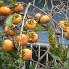 人麻呂の柿の木は、渋柿か?