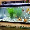 金魚水槽の掃除とうさぎ