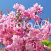 樹木医師の桃色の花が魅力的な庭木