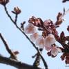 万代長嶺小学校(新潟市中央区)脇の早咲きの桜2021 (3/1) と万代町通り散策
