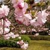 ツレと奈良公園に花見に
