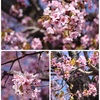 コチラにも、ようやく桜が訪れましたぁ
