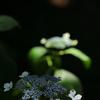 初夏の花-ガクアジサイ-