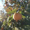 人生初の干し柿づくり体験!ひたすら柿の皮むきをしたよ!
