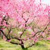 華やかな桃の花