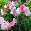 スイートピー開花