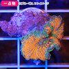 (海水魚 サンゴ)一点物 バブルディスクコーラル スペシャルカラー プラグ付き CM-11284(1個) 沖縄別途送料 北海道航空便要保温