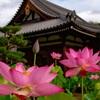 京都・花園 - 法金剛院 観蓮会