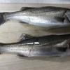 木曽川でウナギ狙いも釣果はセイゴ2匹でした